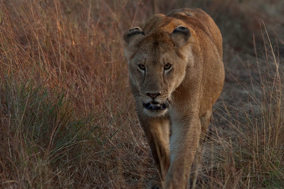 Lioness Masai Mara National Park, Kenya, Africa