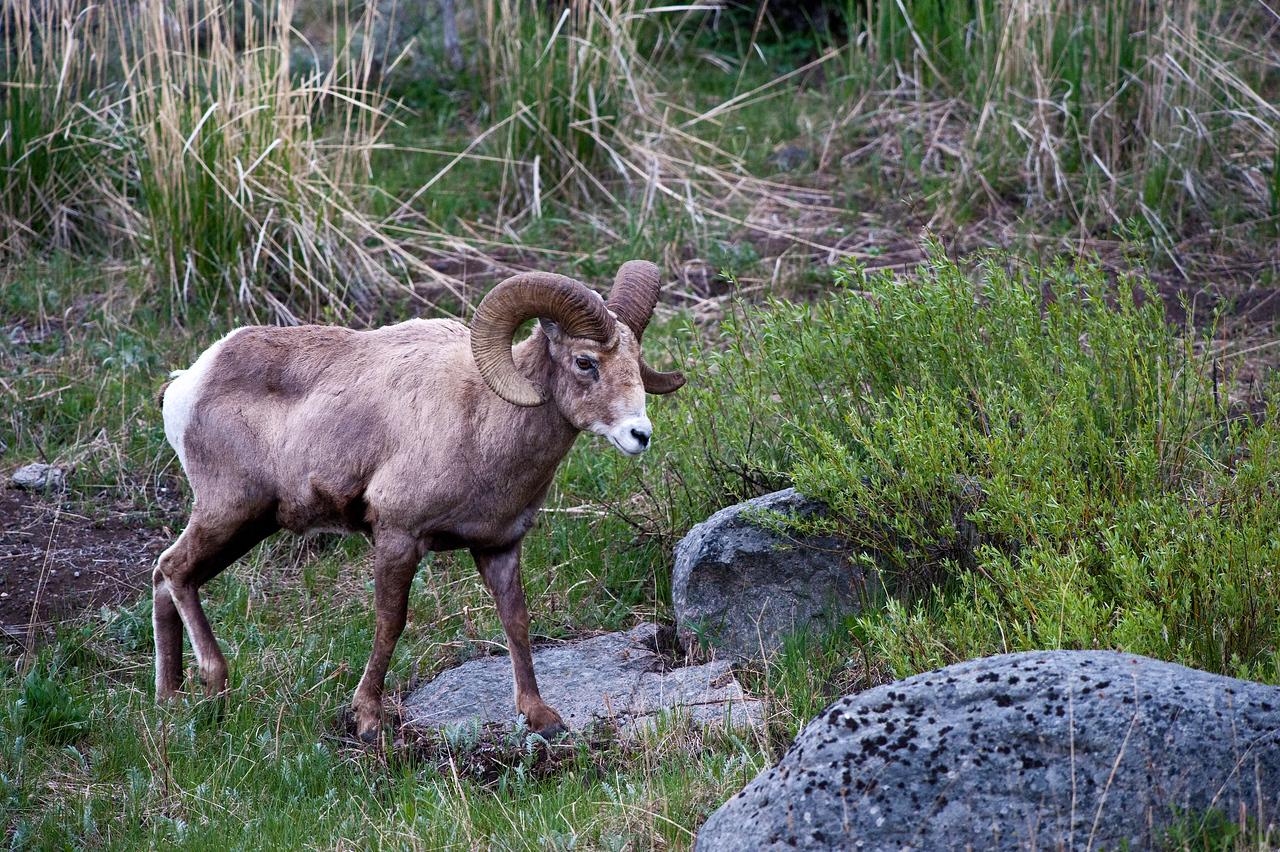 Big Horn Sheep Yellowstone National Park