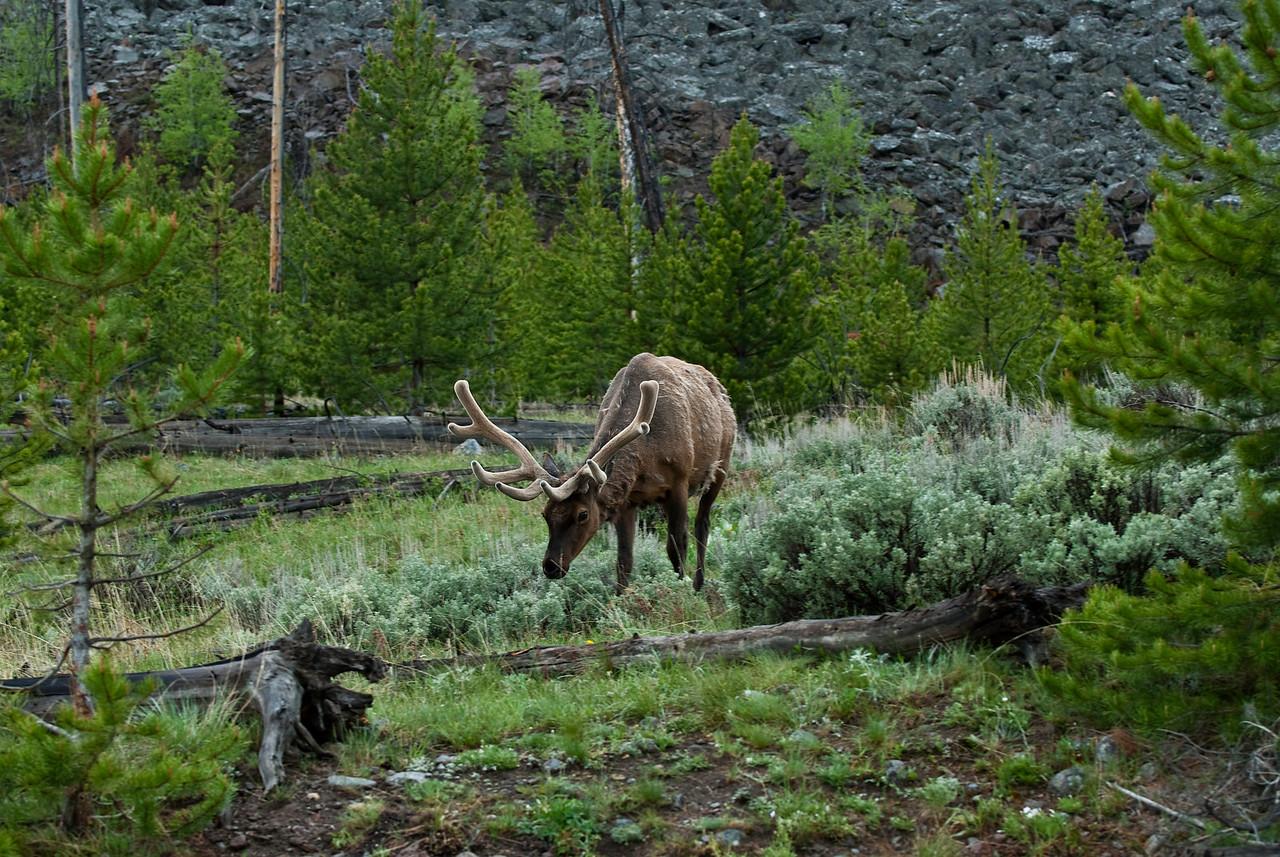 Bull elk Yellowstone National Park
