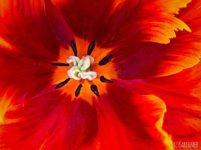 Suz Karchmer Unfurling Series: Red Flame Tulip