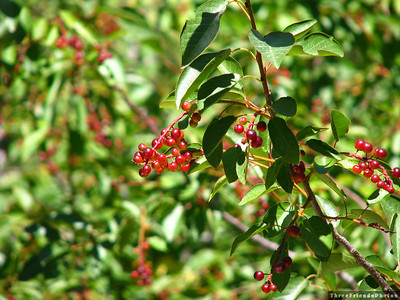 0904_2557_Berry_Bushes