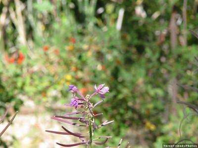 0904_2475_Purple_Flower