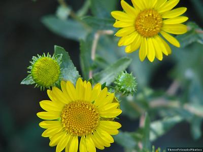 0904_2466_Sunflower