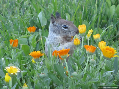 0726_1873_Squirrel_In_Flowers