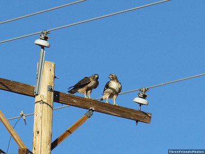 0212_0748_Two_redtail_hawks