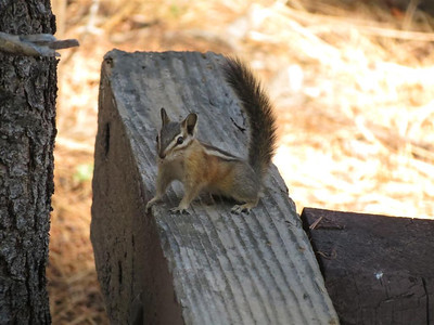 Another Chipmunk