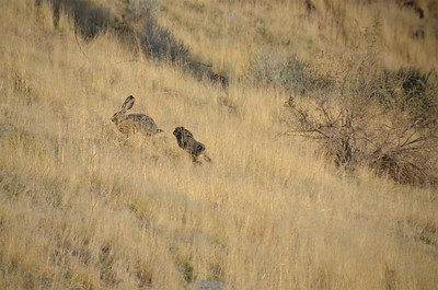 Two Rabbits chasing each other