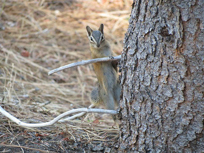 """Chipmunk - """"Who goes there?"""""""