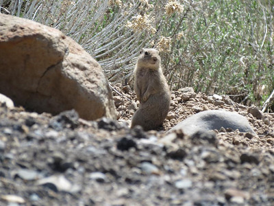 """Ground Squirrel - """"Who's there?"""""""