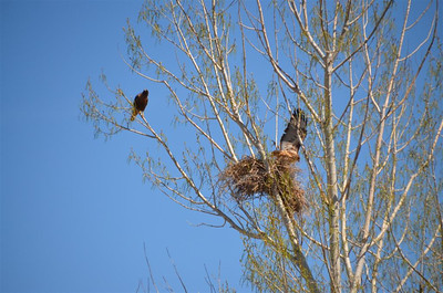 Pair of Red Tail Hawks at their nest.