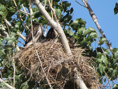 Red Tail Hawks in their nest.  Almost fully grown.