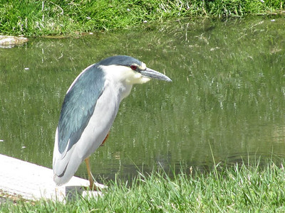 A night heron poses for a picture.