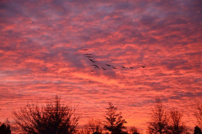 Geese fly off into the sunset
