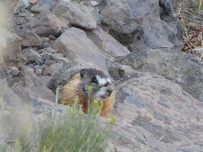 """I see you"" says the marmot at Frenchman Reservoir"