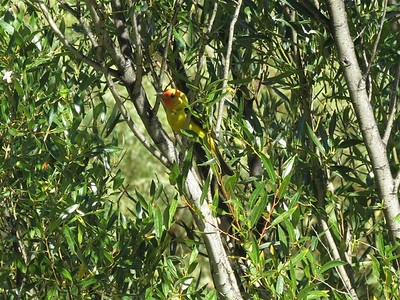 A small yellow bird hides in a tree along Last Chance Creek which comes out of Frenchman Reservoir.