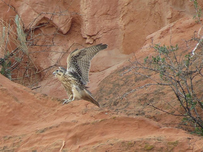 Falcon in the Garden of the Gods