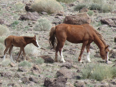 Wild horses.  Mom with a little one.