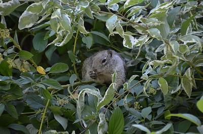 Squirrel at Rancho San Rafael