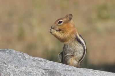 Gold Mantled Squirrel Munching on something