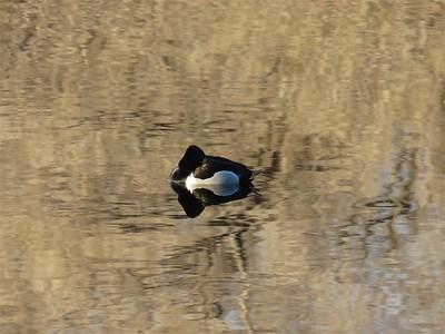 Sleeping on the Pond at Rancho San Rafael - January 31