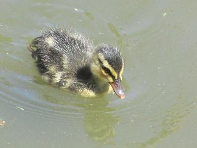 April 24, 2015 - Mallard Duckling