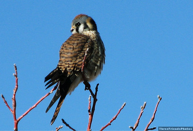 American Kestrel, purched in a tree in Nevada.