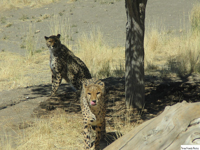 Cheetahs At The Animal Ark, Stead Nevada
