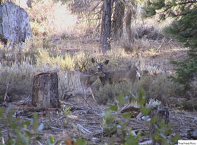 Deer In Dog Valley