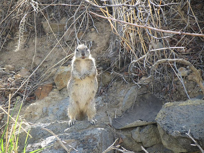 Ground squirrel giving the alarm