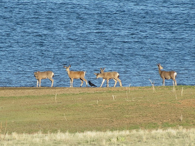 Deer at Frenchman Reservoir.