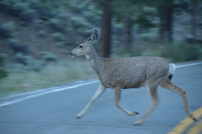 Doe crossing the road after sundown