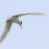 Forster's Tern. This is not cropped!