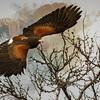 Harris's Hawk on the Wing