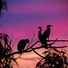 Double-crested Cormorants in the Sunset