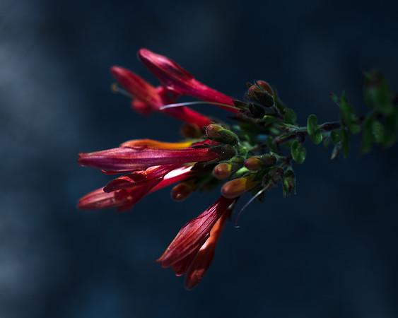 Heart-leaved Bush-penstemon, Keckiella cordifolia