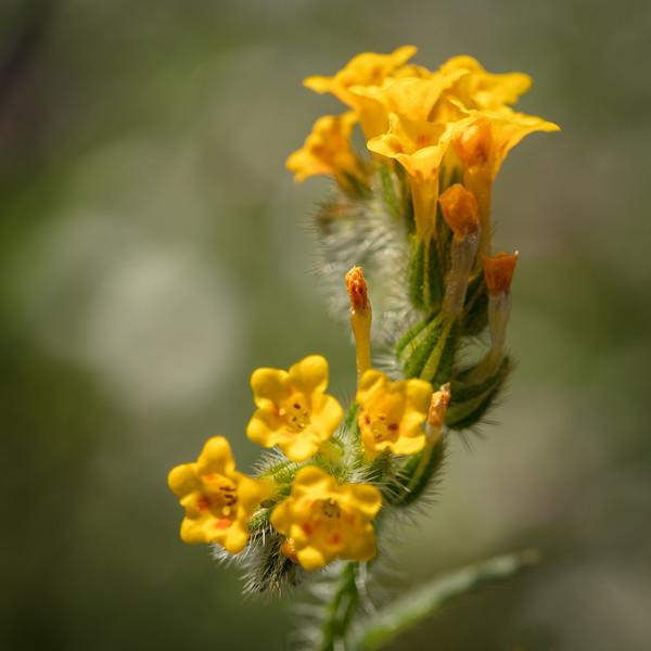 Common Fiddleneck, Amsinckia menziesii var. intermedia