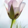 Catalina Mariposa Lily, Calochortus catalinae