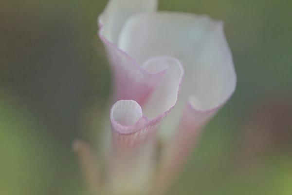 Fading Catalina Lily