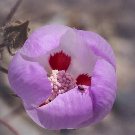 Desert Five-spot, Eremalche rotundifolia