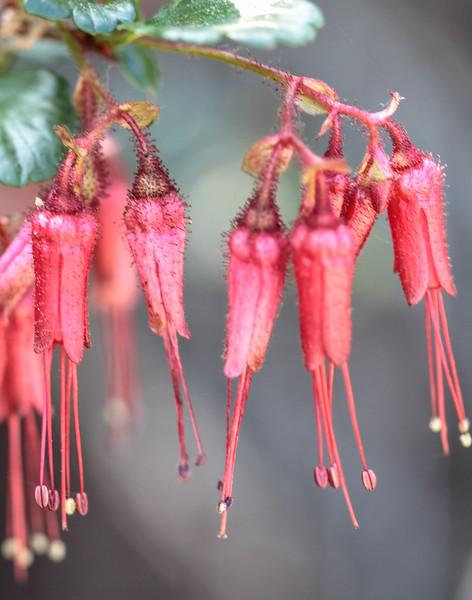 Fuchsia-flowered Gooseberry, Ribes speciosum