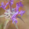 Thistle Sage, Salvia carduacea