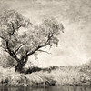 Tree on the Owens River