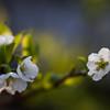 Plum Blossoms taken with Lensbaby Velvet 56.