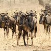 Gnus Looking at You