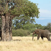 Tembo and Baobab