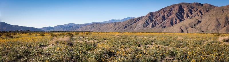 Desert Gold, Geraea canescens