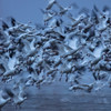 Snow Geese Fly-Out
