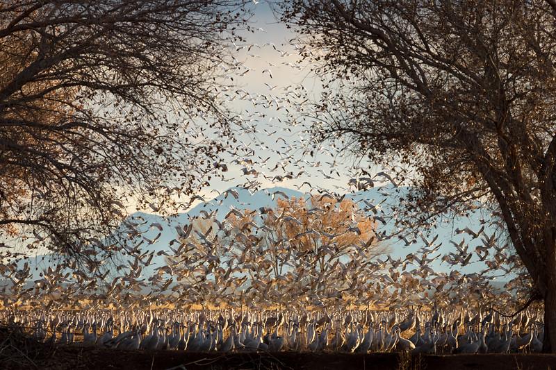 Snow Geese and Sandhill Cranes at Bernado