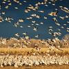 Snow Geese at Bernado