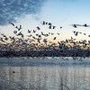 Snow Geese at Sunrise, The Fly-out.